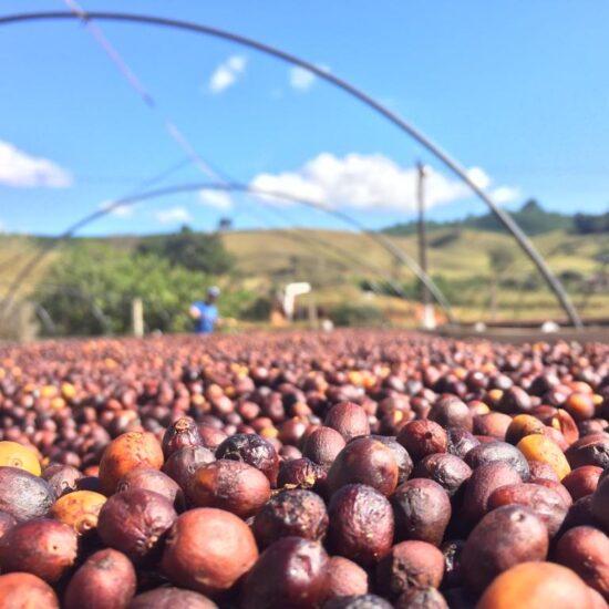 Brazil coffee beans- decaffeinated