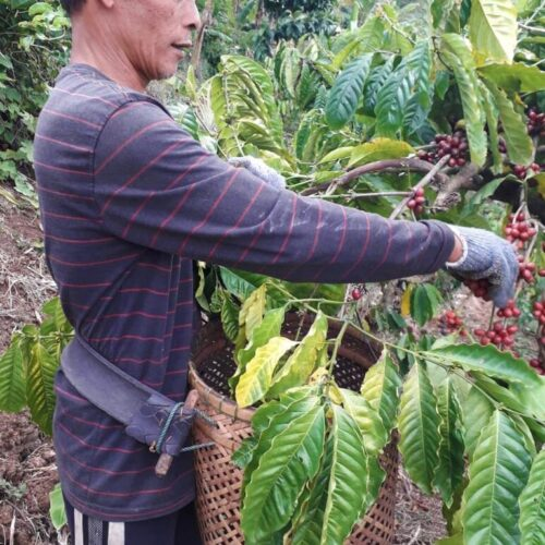Man hand picking coffee cherries in Bali, Indonesia