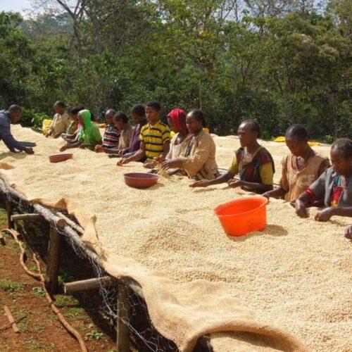 Ethiopia Halo Zazale coffee drying