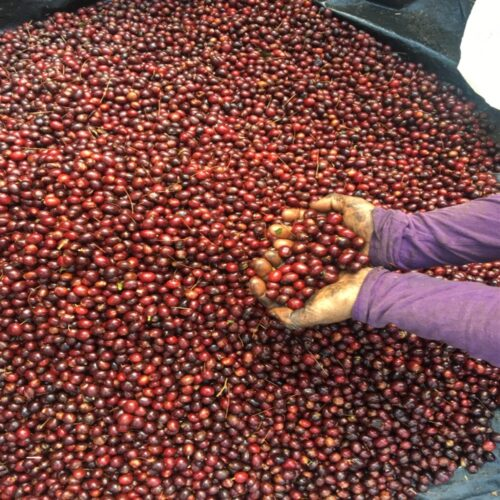 cherries of coffee El Ciprescherries of coffee El Cipres