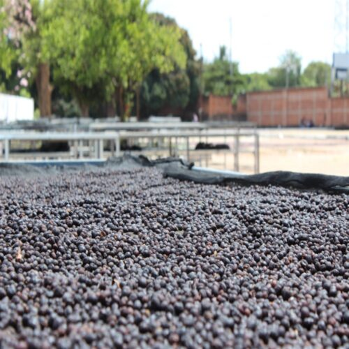 drying process of coffee beans from El Salvador