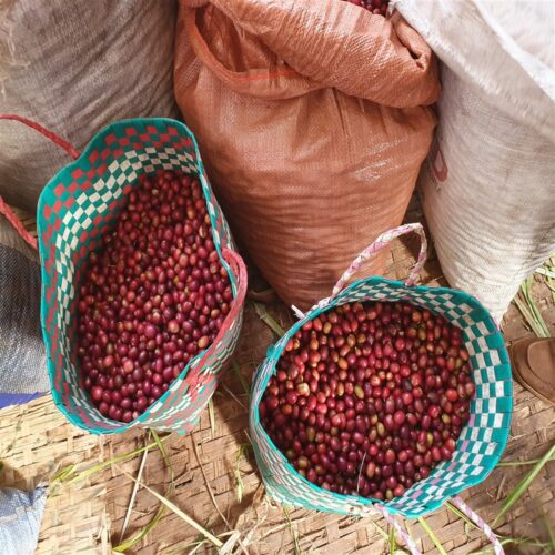 Cherries of coffee from Ethiopia