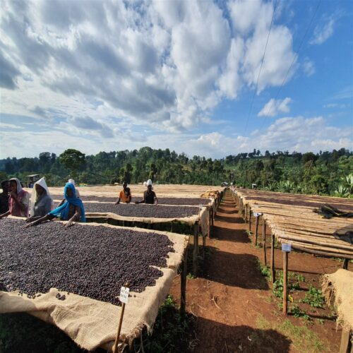 drying process of coffee from Ethiopia